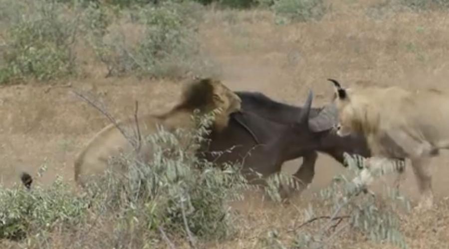 Dos leones atacan a un solitario búfalo pero no se esperaban esta aparición